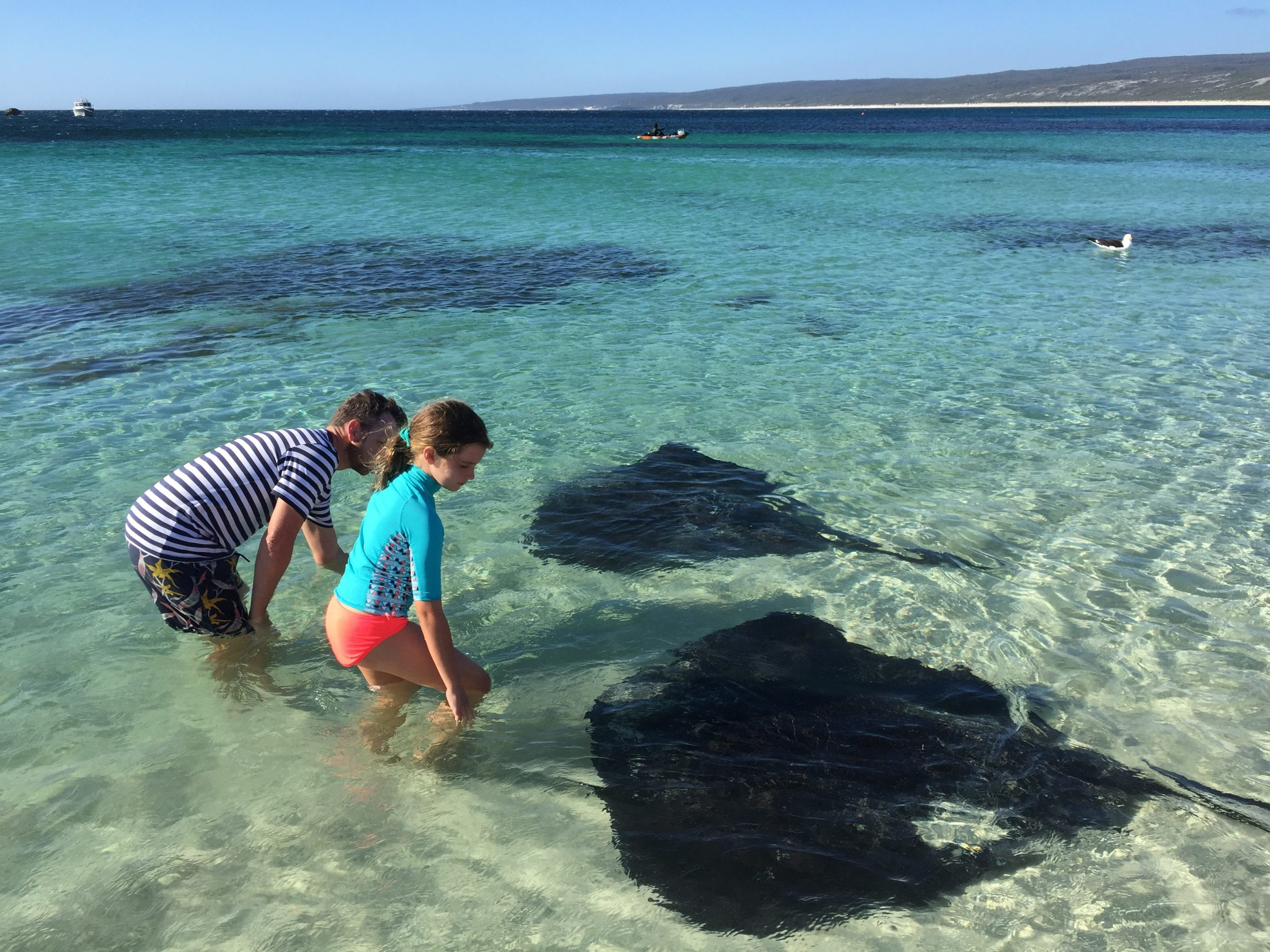 Hamelin Bay stingrays
